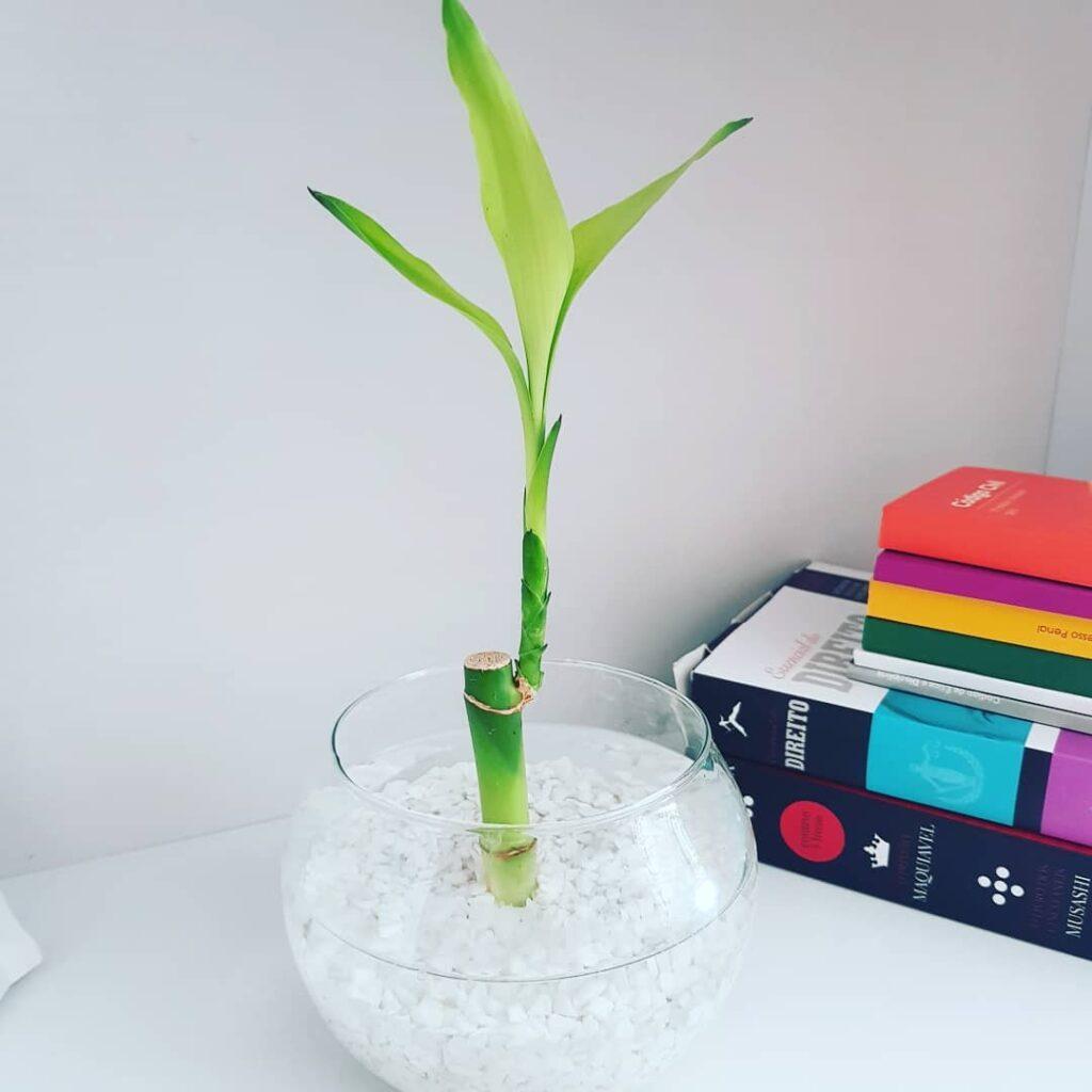Bambu da sorte - plantas para apartamento