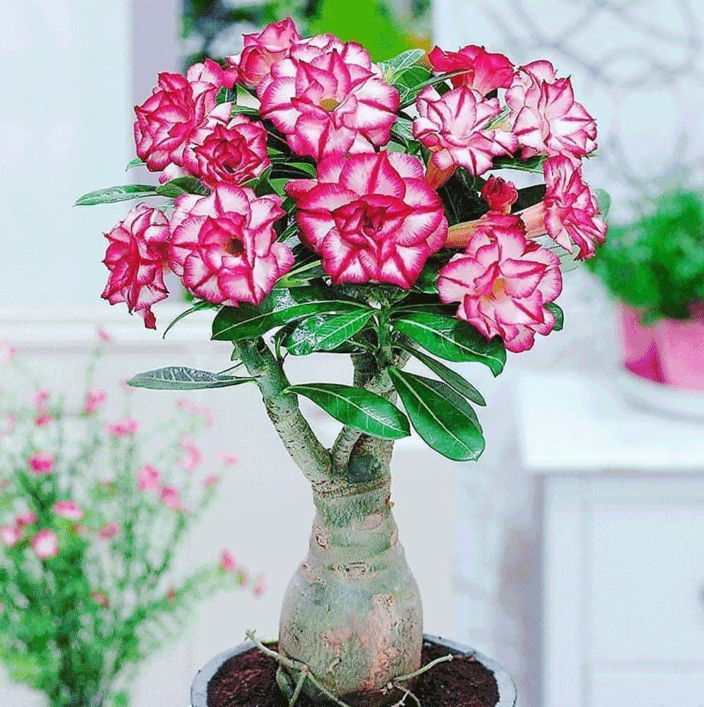 rosa do deserto Adenium multiflorum
