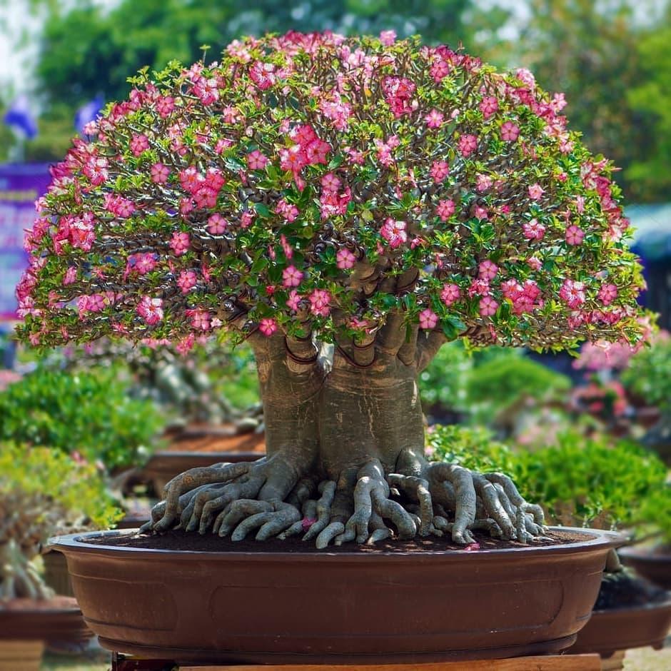 rosa do deserto Adenium arabicum