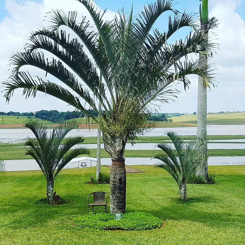 Tipos de palmeira para jardim